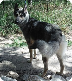Husky/Siberian Husky Mix Dog for adoption in SAN ANTONIO, Texas - JENNA