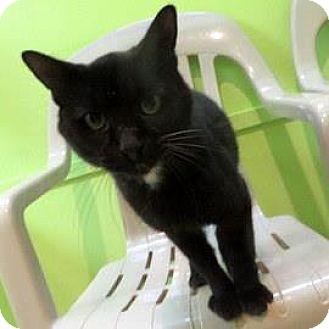 Domestic Shorthair Cat for adoption in Janesville, Wisconsin - Kodak