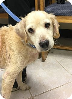 Cocker Spaniel/Retriever (Unknown Type) Mix Dog for adoption in Clarksville, Tennessee - Casey - PENDING!