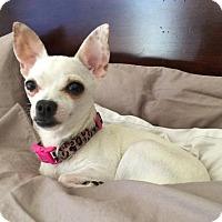 Adopt A Pet :: Valerina - Costa Mesa, CA