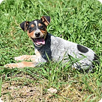 Feist/Cattle Dog Mix Puppy for adoption in Groton, Massachusetts - Adalie