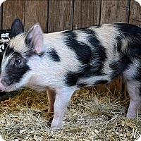 Adopt A Pet :: Porky - McKinney, TX