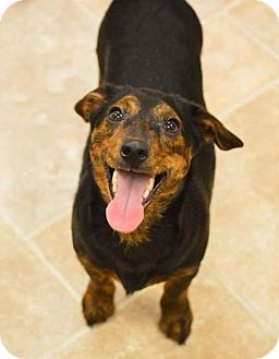 Dachshund Mix Dog for adoption in Pardeeville, Wisconsin - Domino