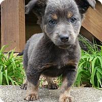 Adopt A Pet :: Moose-ADOPTION PENDING - Bridgeton, MO