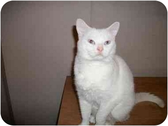 Domestic Shorthair Cat for adoption in Muncie, Indiana - Abby