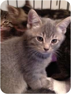 Domestic Shorthair Kitten for adoption in Wenatchee, Washington - Kitten