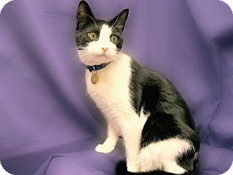 Domestic Shorthair Cat for adoption in Richmond, Virginia - Jackson