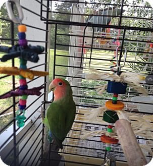 Lovebird for adoption in Punta Gorda, Florida - Monkey