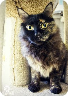Domestic Mediumhair Cat for adoption in Gardnerville, Nevada - Holly