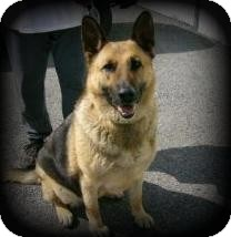 German Shepherd Dog Dog for adoption in Youngstown, Ohio - Ginger ~ Adoption Pending