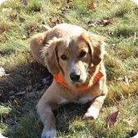 Adopt A Pet :: Sasha - New Canaan, CT
