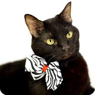 Domestic Shorthair Cat for adoption in Arlington/Ft Worth, Texas - Peekaboo