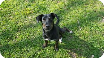 Hound (Unknown Type) Mix Dog for adoption in Tallahassee, Florida - Miguel