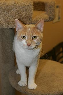 Domestic Shorthair Cat for adoption in Capshaw, Alabama - Ace