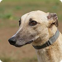 Greyhound Dog for adoption in Portland, Oregon - Skip