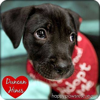 Labrador Retriever/Terrier (Unknown Type, Medium) Mix Puppy for adoption in South Plainfield, New Jersey - Duncan Hines