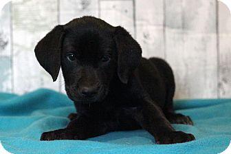 Labrador Retriever Mix Puppy for adoption in Waldorf, Maryland - Punch