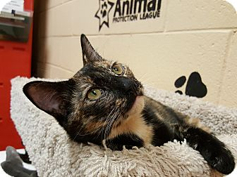 Domestic Shorthair Kitten for adoption in Smithfield, North Carolina - Opal