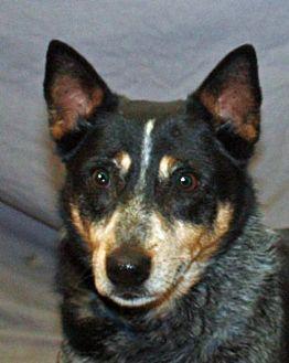 Australian Cattle Dog Dog for adoption in Modesto, California - Dako