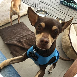 Miniature Pinscher/Chihuahua Mix Dog for adoption in Las Vegas, Nevada - Otello