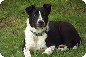 Border Collie/Cattle Dog Mix Puppy for adoption in Phoenix, Arizona - Rufus