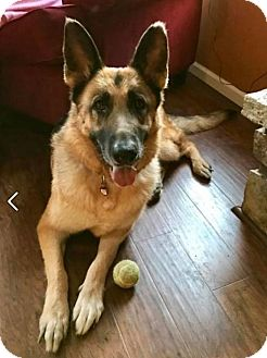 German Shepherd Dog Dog for adoption in Kansas City, Missouri - Ariel