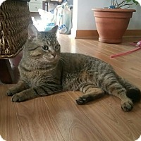 Domestic Shorthair Cat for adoption in THORNHILL, Ontario - Sneakers