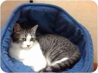 Domestic Shorthair Cat for adoption in Austin, Texas - Sarah