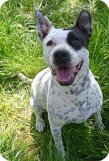 Australian Cattle Dog/Dalmatian Mix Dog for adoption in Sacramento, California - Kyanna sweet gal