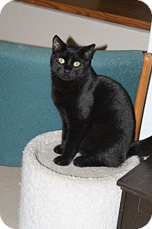 Domestic Shorthair Cat for adoption in North Branford, Connecticut - Bongo