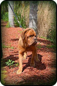 Dogue de Bordeaux Mix Dog for adoption in Miami, Florida - Rocket