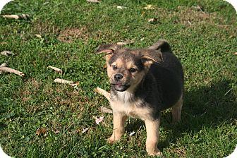 Shepherd (Unknown Type)/Labrador Retriever Mix Puppy for adoption in Morgantown, West Virginia - Franny