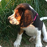 Adopt A Pet :: Pink - Indianapolis, IN