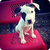 Adopt A Pet :: Ratchet - Charlotte, NC