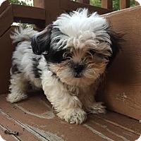 Adopt A Pet :: Dempsey - Algonquin, IL