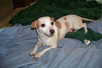 Dachshund/Terrier (Unknown Type, Medium) Mix Dog for adoption in Glendale, Arizona - Longfellow