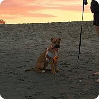 Adopt A Pet :: Autumn - Shrewsbury, NJ