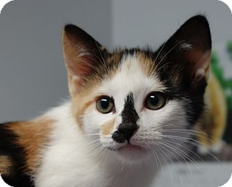 Domestic Shorthair Kitten for adoption in Greenfield, Indiana - Winifred