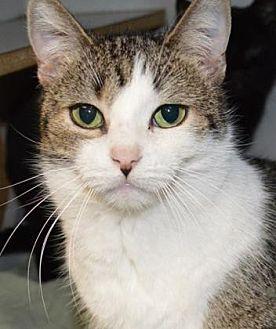 Domestic Shorthair Cat for adoption in Ashtabula, Ohio - Josie