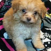 Adopt A Pet :: Honey - East Hartford, CT