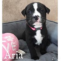Adopt A Pet :: Aria - Summerville, SC