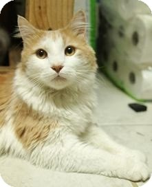 Domestic Mediumhair Cat for adoption in Medford, Massachusetts - Oliver