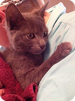 Domestic Shorthair Kitten for adoption in Horsham, Pennsylvania - Grady