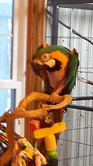 Macaw for adoption in Blairstown, New Jersey - Millie