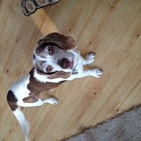 Beagle Dog for adoption in Canterbury, New Hampshire - Chipper
