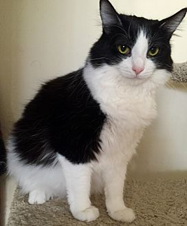 Maine Coon Cat for adoption in Cerritos, California - Pypurr