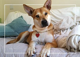 Shepherd (Unknown Type) Mix Dog for adoption in hollywood, Florida - BABY GIRL