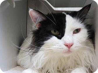 Domestic Shorthair Cat for adoption in Bellevue, Washington - Hendrix