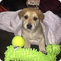 Adopt A Pet :: SUGAR - Stamford, CT