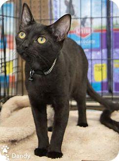 Domestic Shorthair Kitten for adoption in Merrifield, Virginia - Dandy